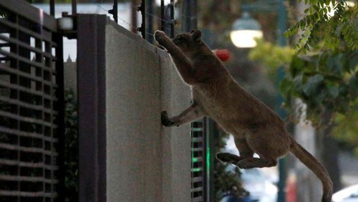Un nuevo puma se pasea por Santiago de Chile desde el inicio del toque queda