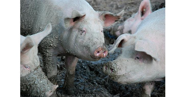 nueva-cepa-del-virus-de-gripe-porcina-detectada-en-china-tiene-potencial-pandmico-advierte-estudio