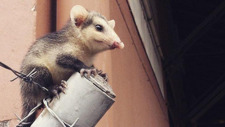 Las chuchas, marsupiales incomprendidos y estigmatizados