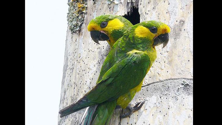 Loro orejiamarillo,  superviviente  de los Andes