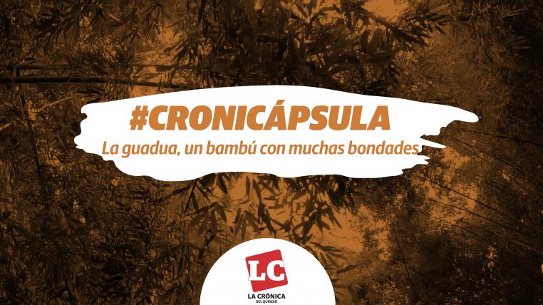 #Cronicápsula | La guadua, un bambú con muchas bondades