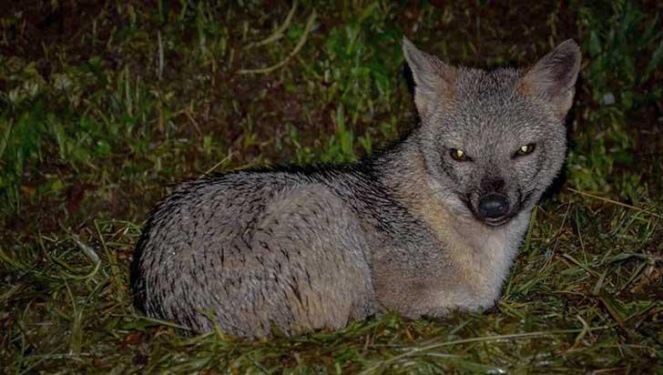 El zorro cangrejero y el dilema de adaptarse a la presencia humana