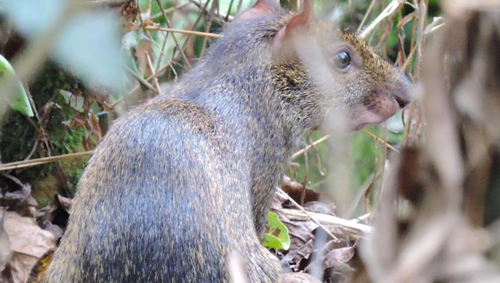 Guatines: animales comunes, pero ignorados