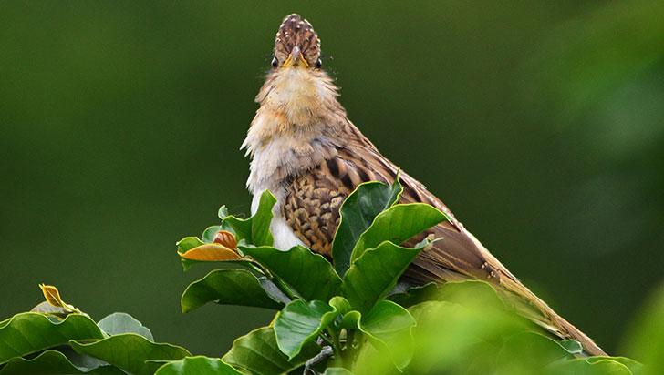 Trespiés, el pájaro al que muchos le temen, pero pocos han visto