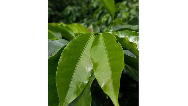 En Filandia sembrar o renovar cultivos de café se traduce en menos impuestos