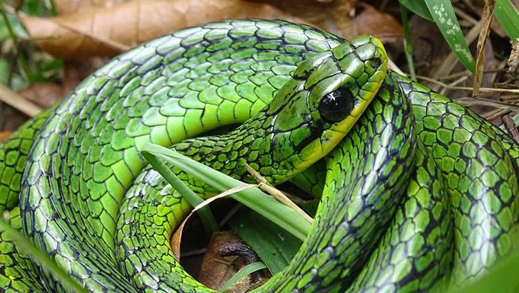 Chironius monticola, una serpiente que da latigazos