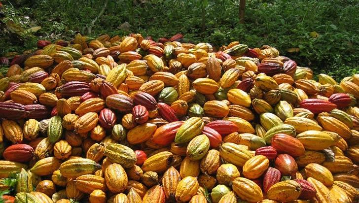 En Armenia, el plátano y el cacao hacen parte de Alianzas Productivas