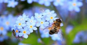 Corte pidió a gobierno estudiar impacto de insecticidas en abejas
