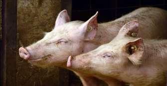 Colombia exportará carne de cerdo a Costa de Marfil y Hong Kong