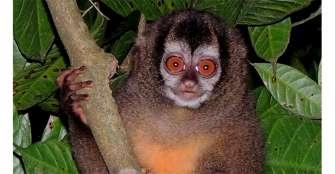 Mono nocturno, el mico  que siempre sonríe
