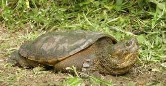 Tortugapimpano, amenazada por la  deforestación, la cacería y la contaminación