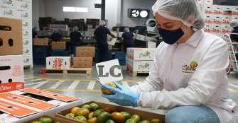 Tras pérdida masiva de mandarina en Quindío, se propone exportar