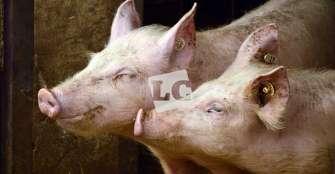 Subastas virtuales, alternativa de comercialización del cerdo