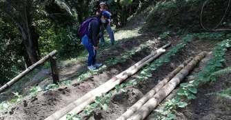 En septiembre iniciará la siembra de fríjol ombligo amarillo en Salento