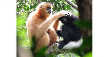 Puentes de cuerda para salvar al primate más amenazado del mundo