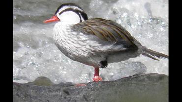El pato de los torrentes  en riesgo por el turismo mal planificado