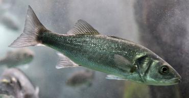 Las olas de calor marinas provocan cambios permanentes en la expresión génica de los peces