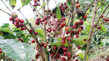 Cafetales quindianos, con mayor producción por hectárea que los del resto del país
