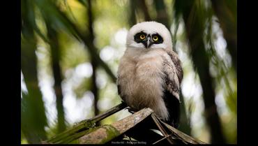 El fascinante búho de anteojos