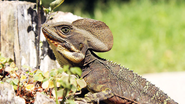 El lagarto jesucristo,  'un dinosaurio' en miniatura que corre por encima del agua