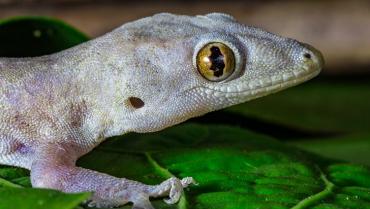 El gecko, un huésped que debe ser bien recibido en el hogar