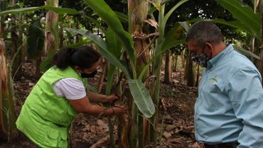 Se incrementan medidas para evitar la propagación del moko del plátano por el Eje Cafetero