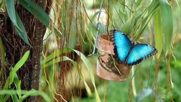 Morpho, una mariposa que danza  con elegante vestido azul