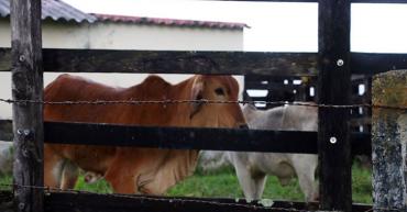 Algas para el ganado contra sus emisiones de gases de efecto invernadero