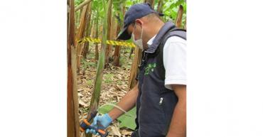 En Quindío refuerzan controles contra el moko del plátano