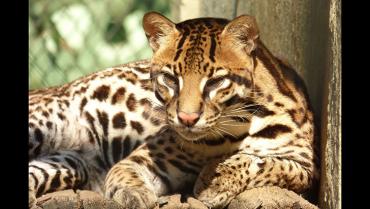Ocelote, un felino en peligro de extinción que no se debe confundir con el tigrillo