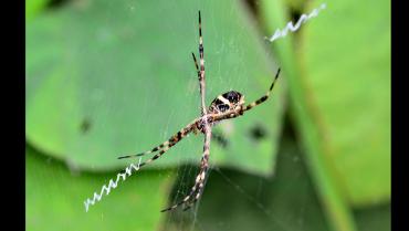 La tigre o argiope argentata, la araña que llegó a Colombia volando