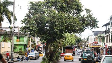 Hay más de 300 solicitudes de poda y tala de árboles en Armenia