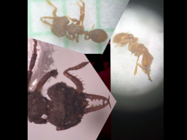 Por esta diminuta hormiga, Armenia es noticia para la ciencia mundial
