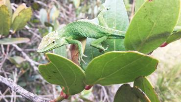 Un camaleón que sí habita en el Quindío