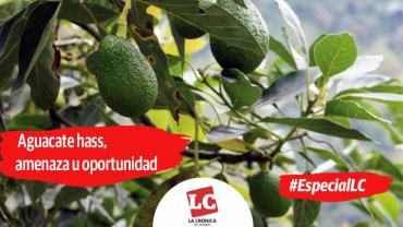 #EspecialLC | Aguacate hass, amenaza u oportunidad