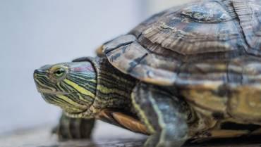 Una tortuga viajó del Quindío al Cesar