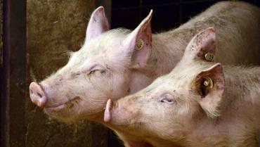 En 35 porcícolas se realizó vigilancia epidemiológica frente a la peste porcina