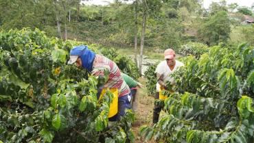 La meta es recolectar el 48 % de la producción de café del Quindío