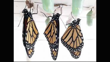 Ella es la 'monarca' de las mariposas
