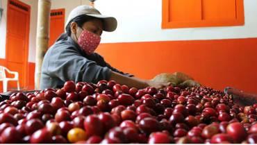 En el Quindío, en el gremio cafetero trabajan 1.893 mujeres